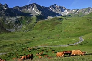 paysage vache alpes