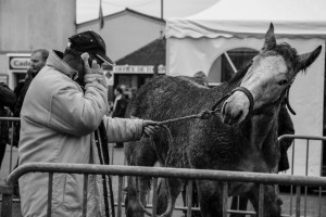 photo percheron